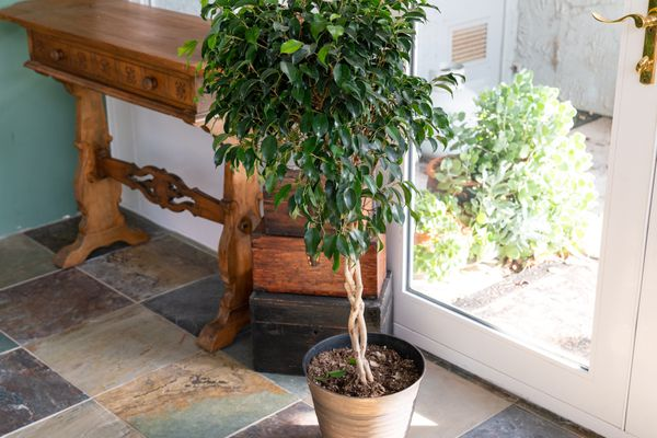 a potted plant moved indoors for the winter