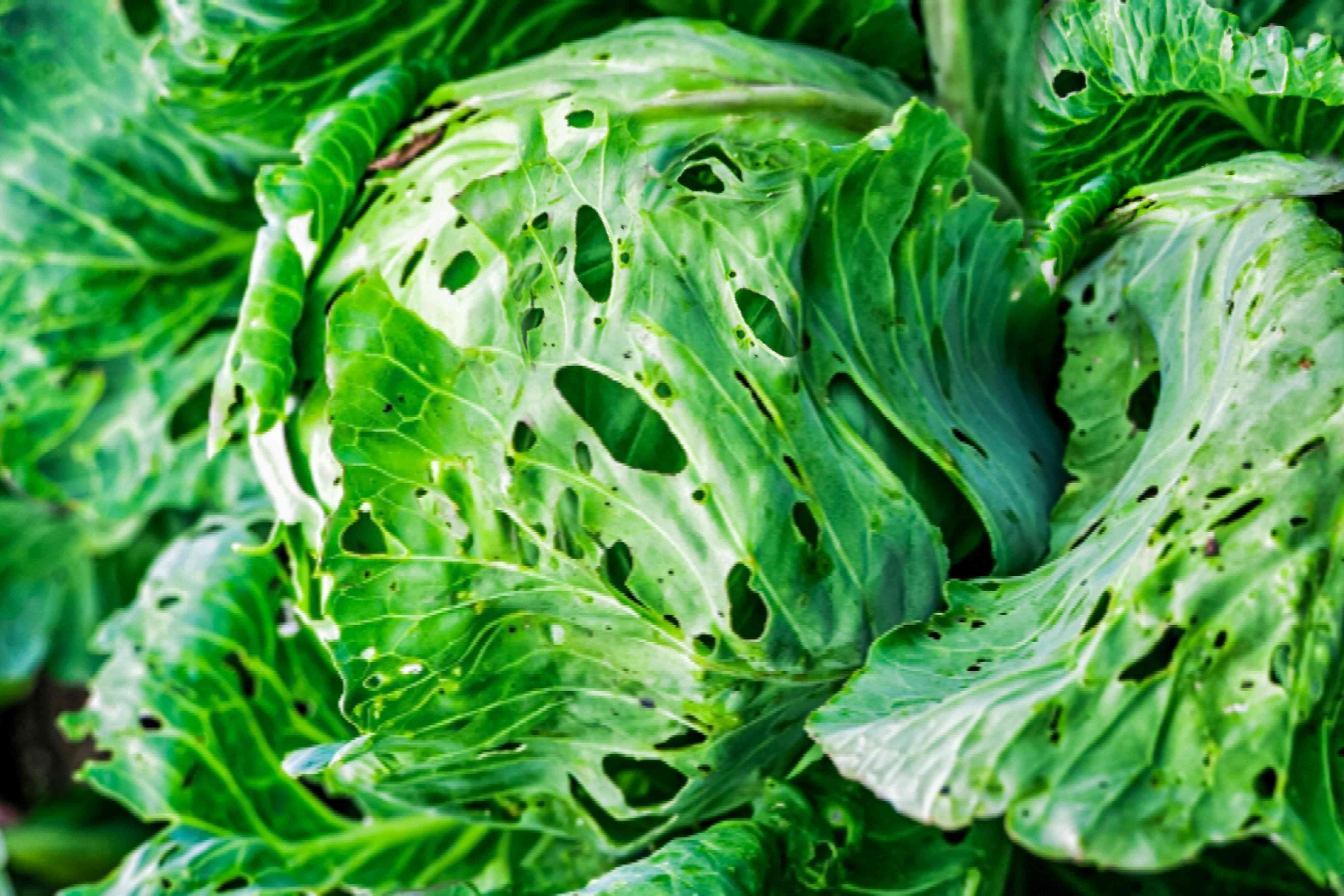 pests on cabbage crop