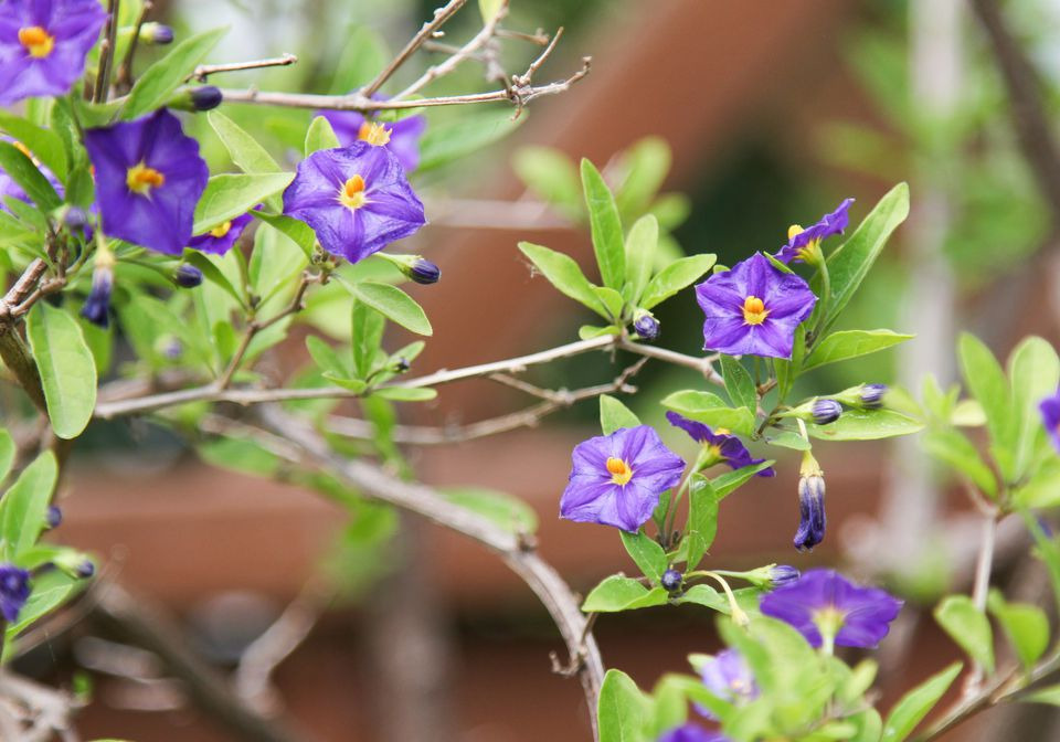 Purple-blue flowers are found on the blue potato bush.