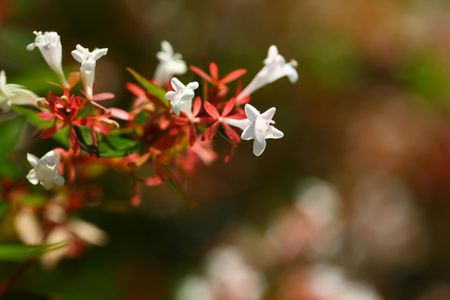 Growing The Glossy Abelia In The Home Garden
