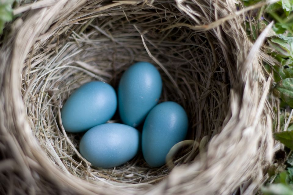 Blue Robin's Eggs in a Nest