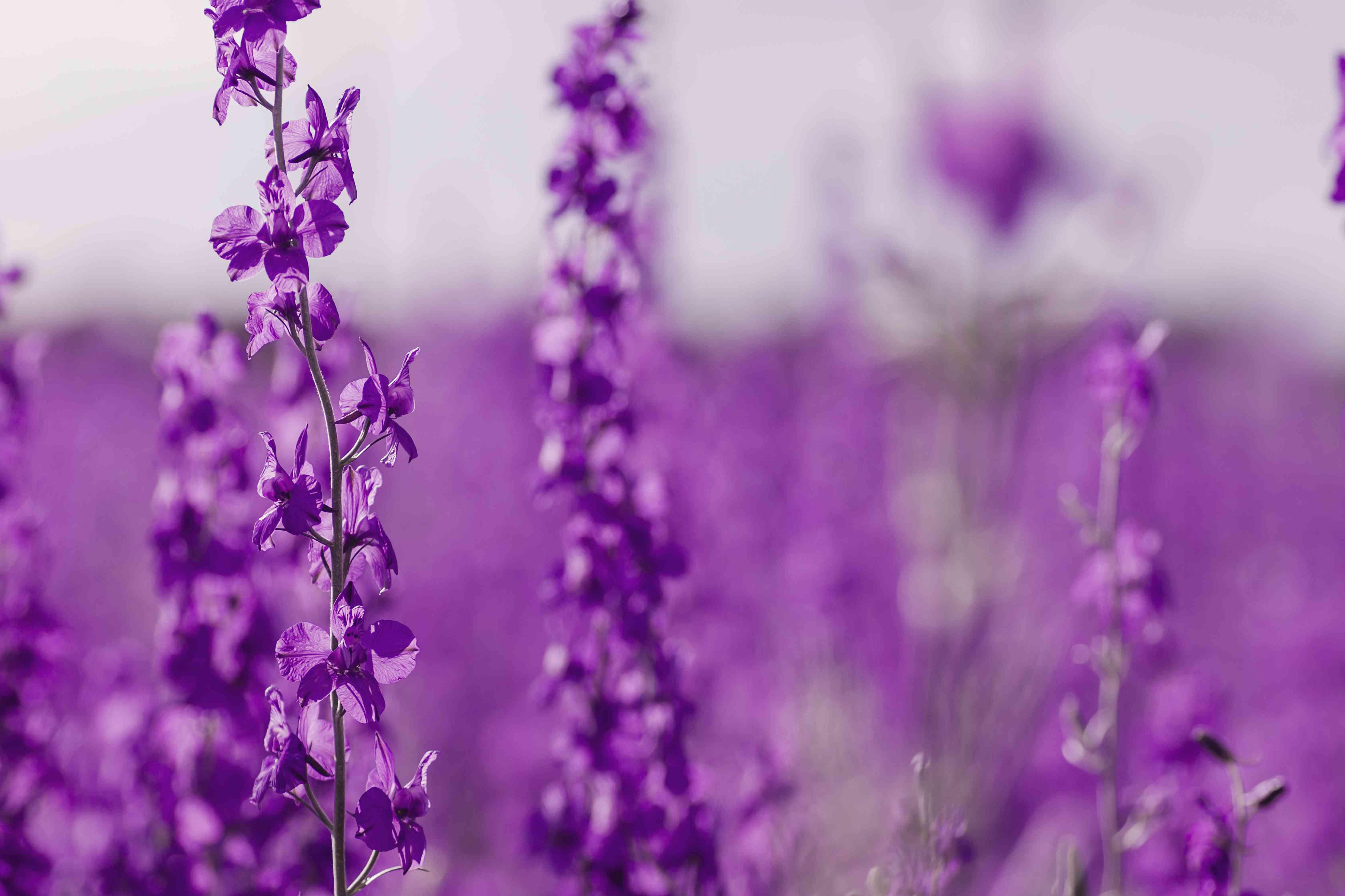 Consolida ajacis purple flowers