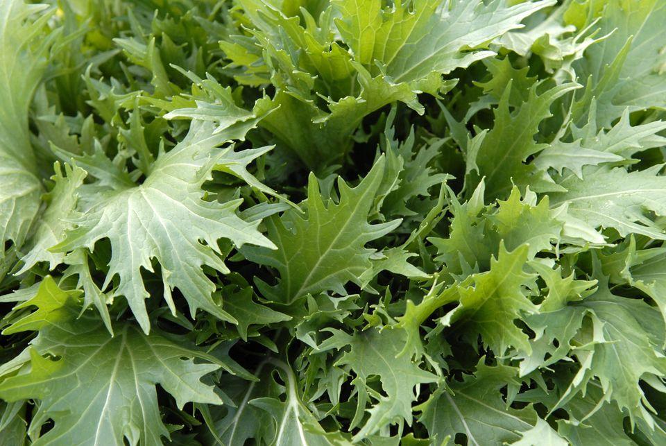 mizuna japanese green leaf
