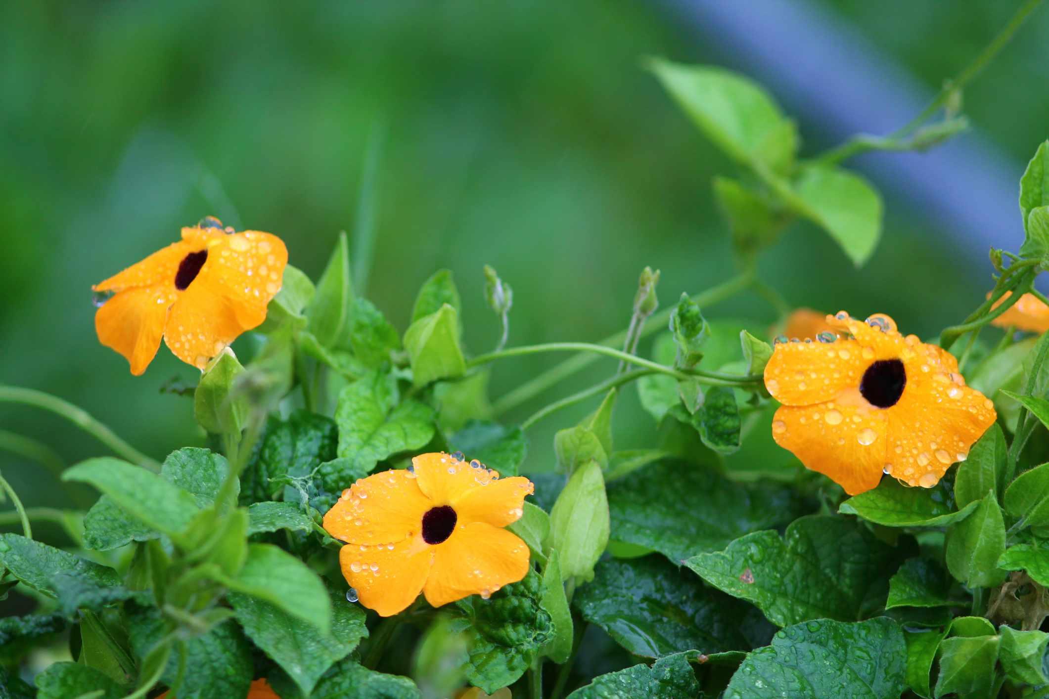 yellow thunbergia alata