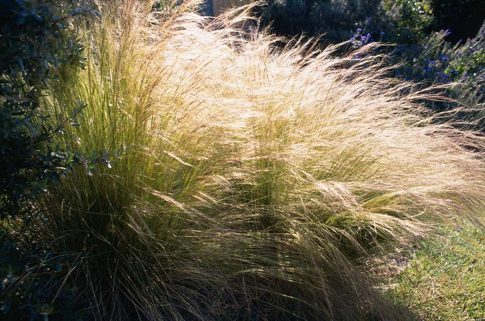 Mexican feather grass backlit by the sun.