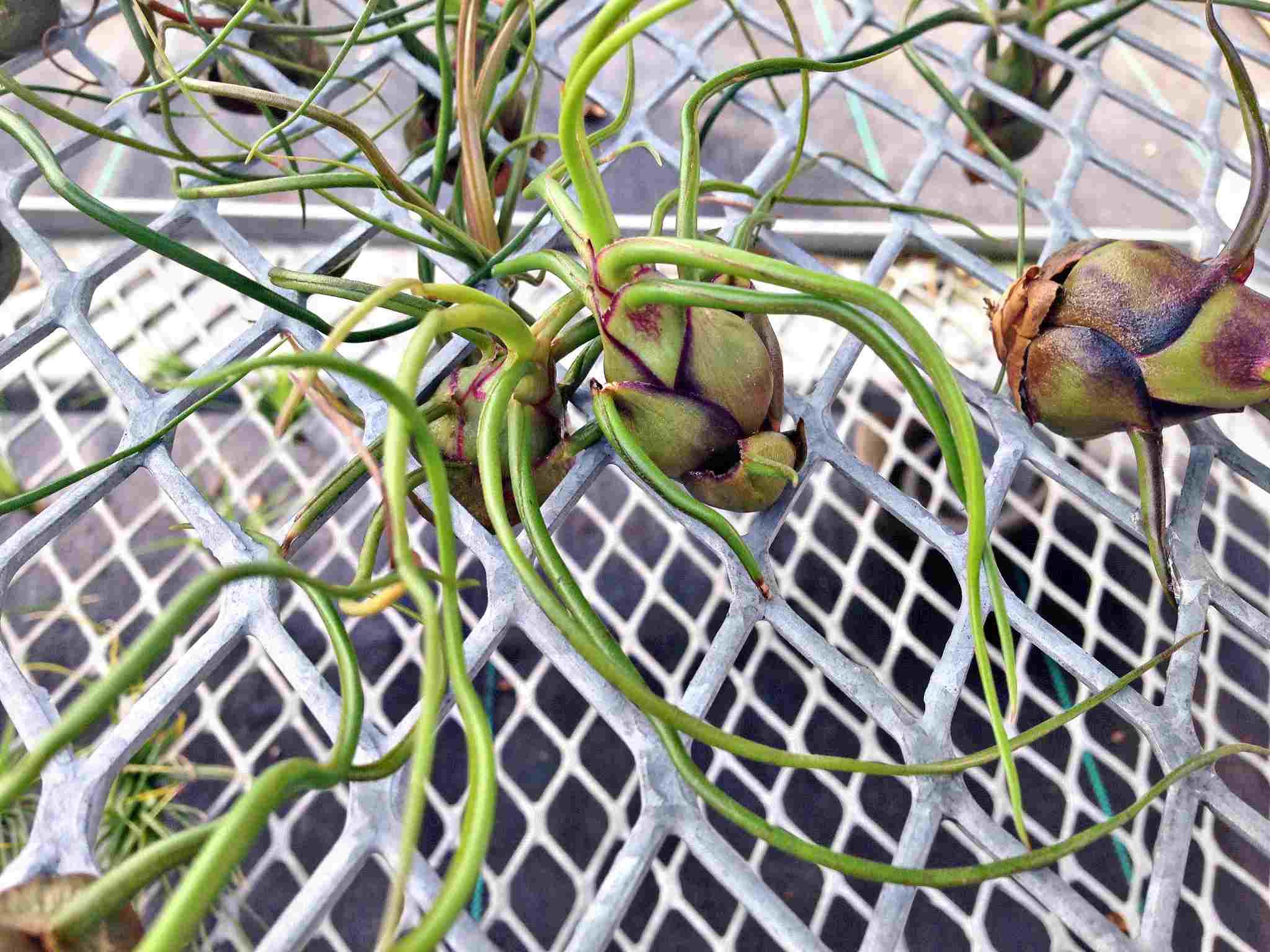 Planta de aire - Tillandsia barbosa
