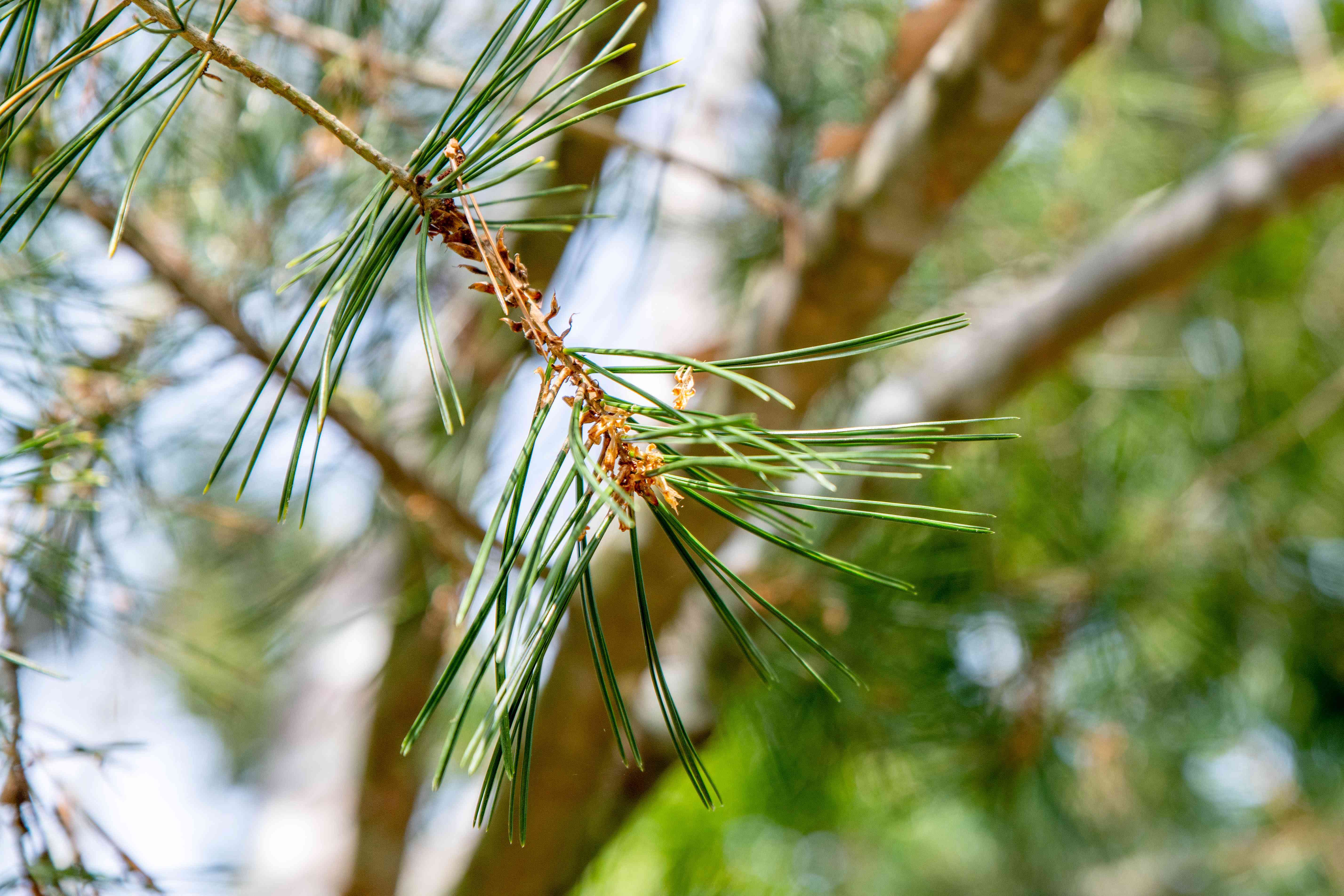 Lacebark pine tree branch with long needle hanging on end of stem closeup