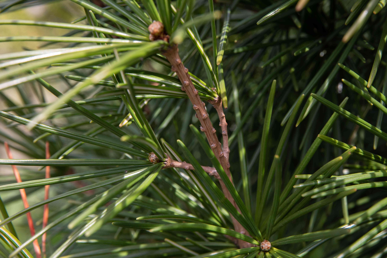 Umbrella pine tree branch with short thick needles closeup