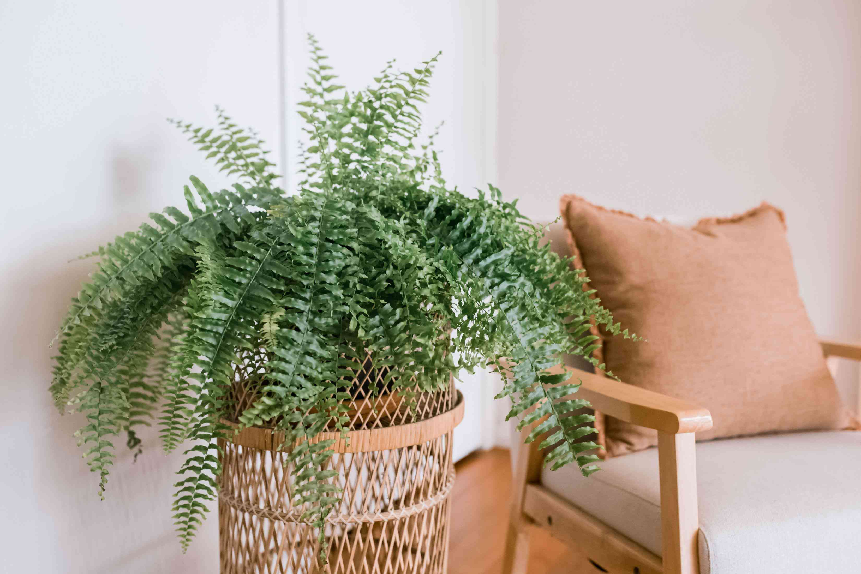 Potted fern plant growing in wicker plant stand next to chair with toss pilow