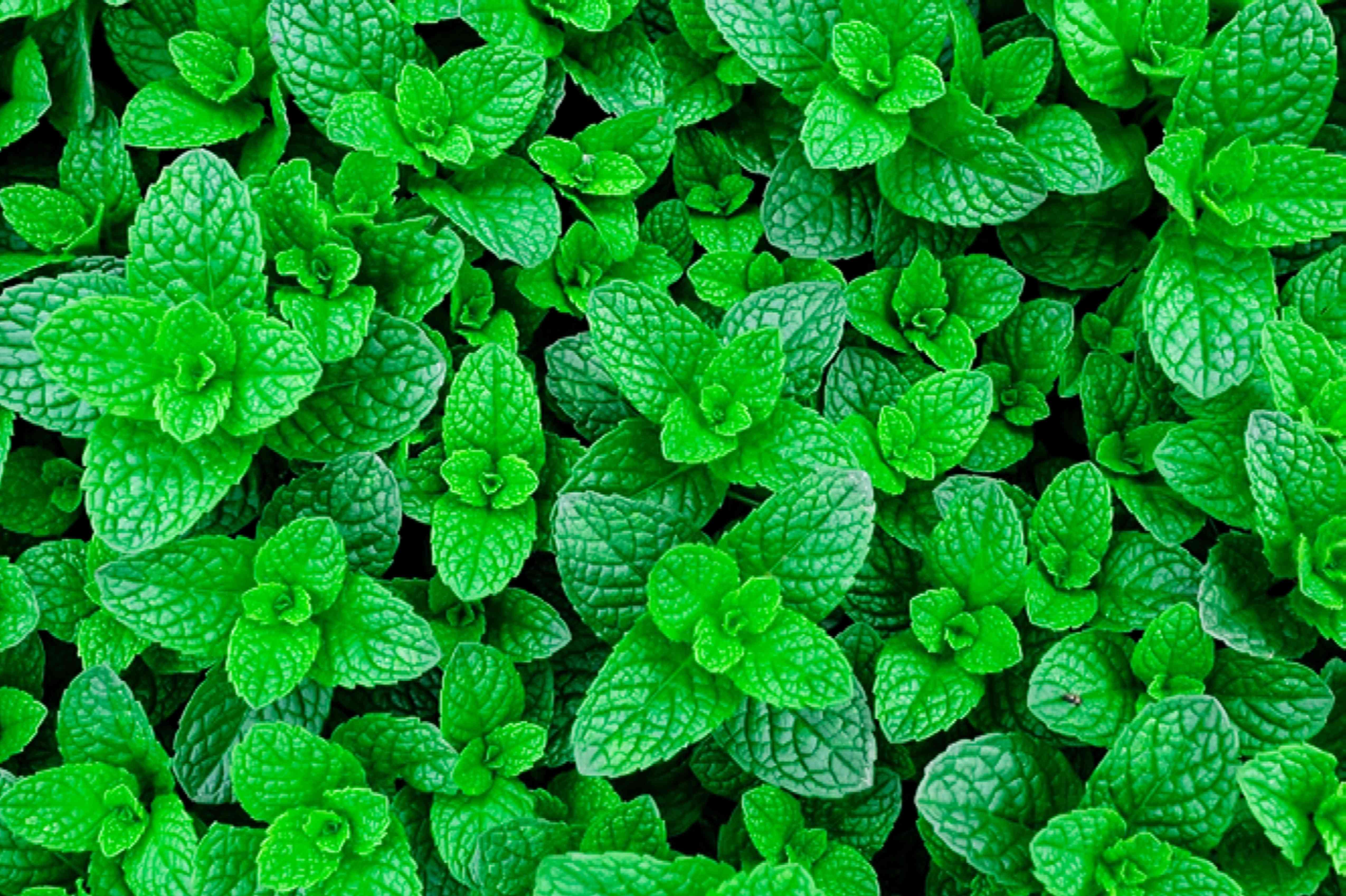 mint for taurus