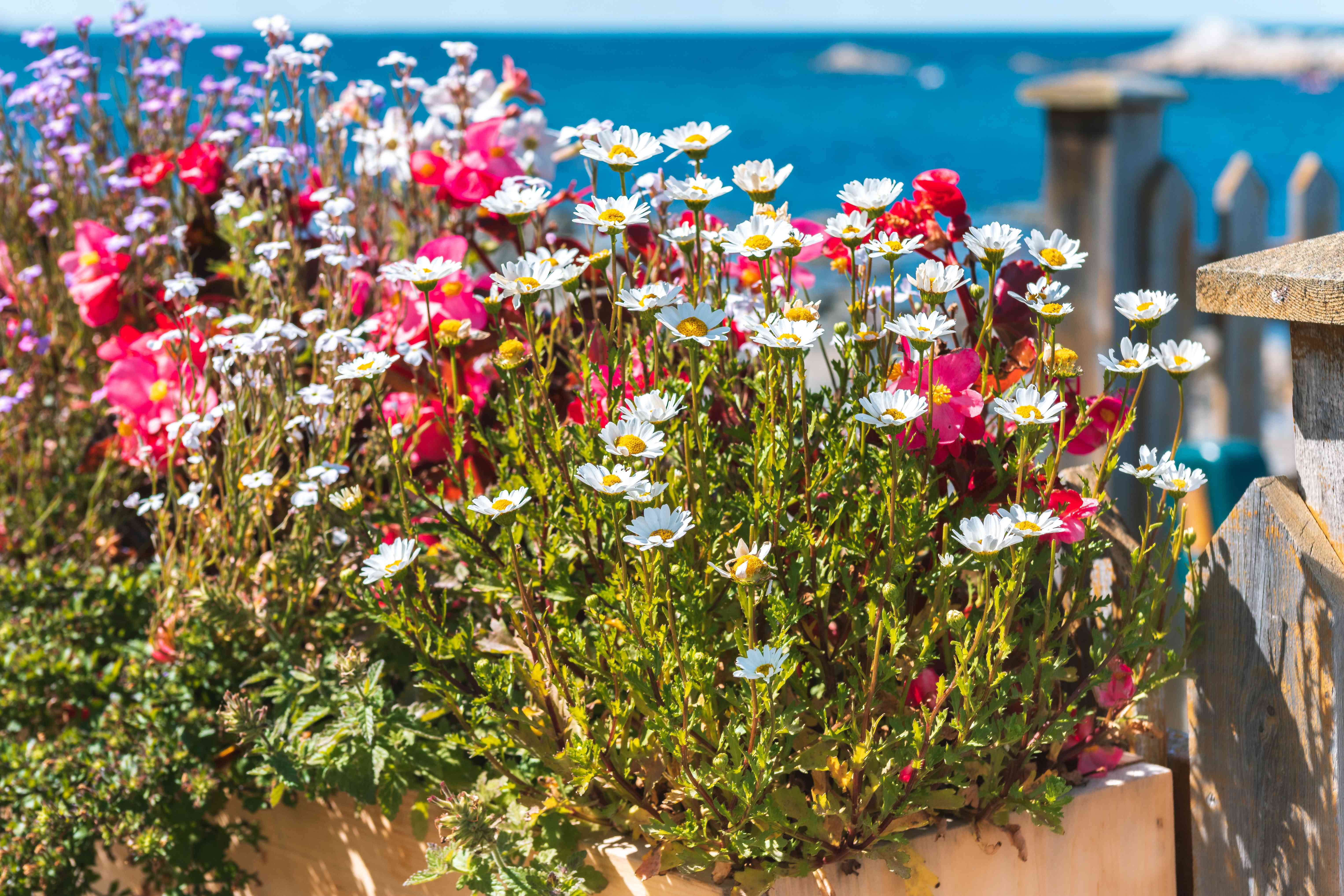 Montauk daisies in a container