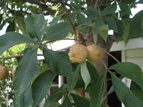 The Ohio buckeye is the state tree of Ohio.