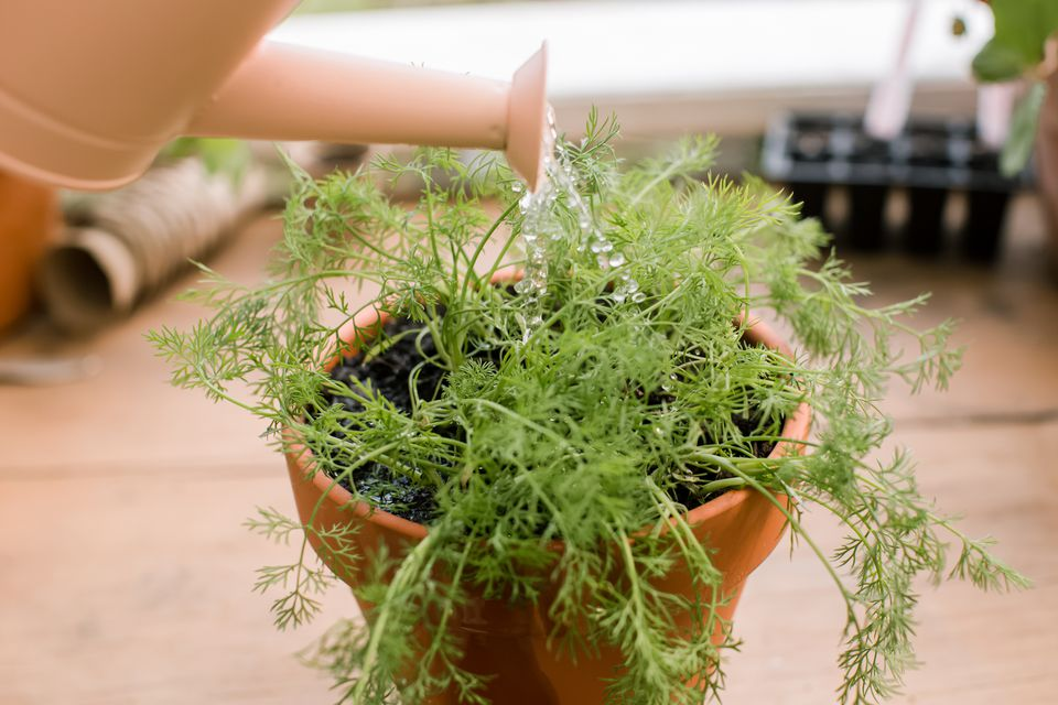 potted dill plant