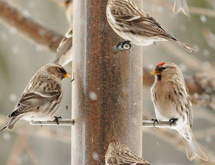 Common Redpolls at a Feeder