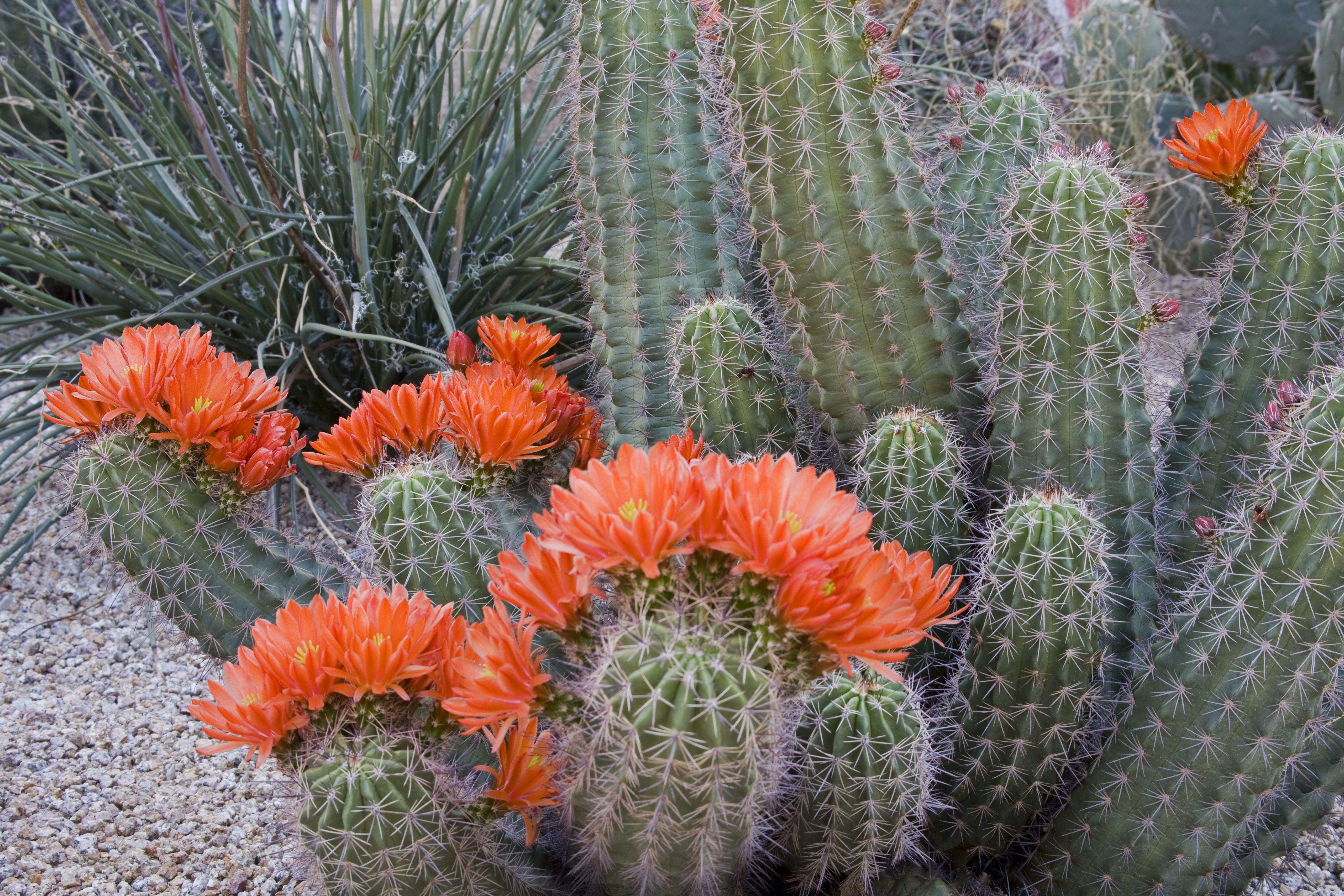 Cactus clarete