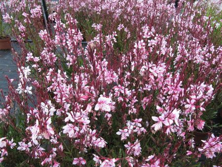 How to grow and care for gaura pink gaura flowers mightylinksfo