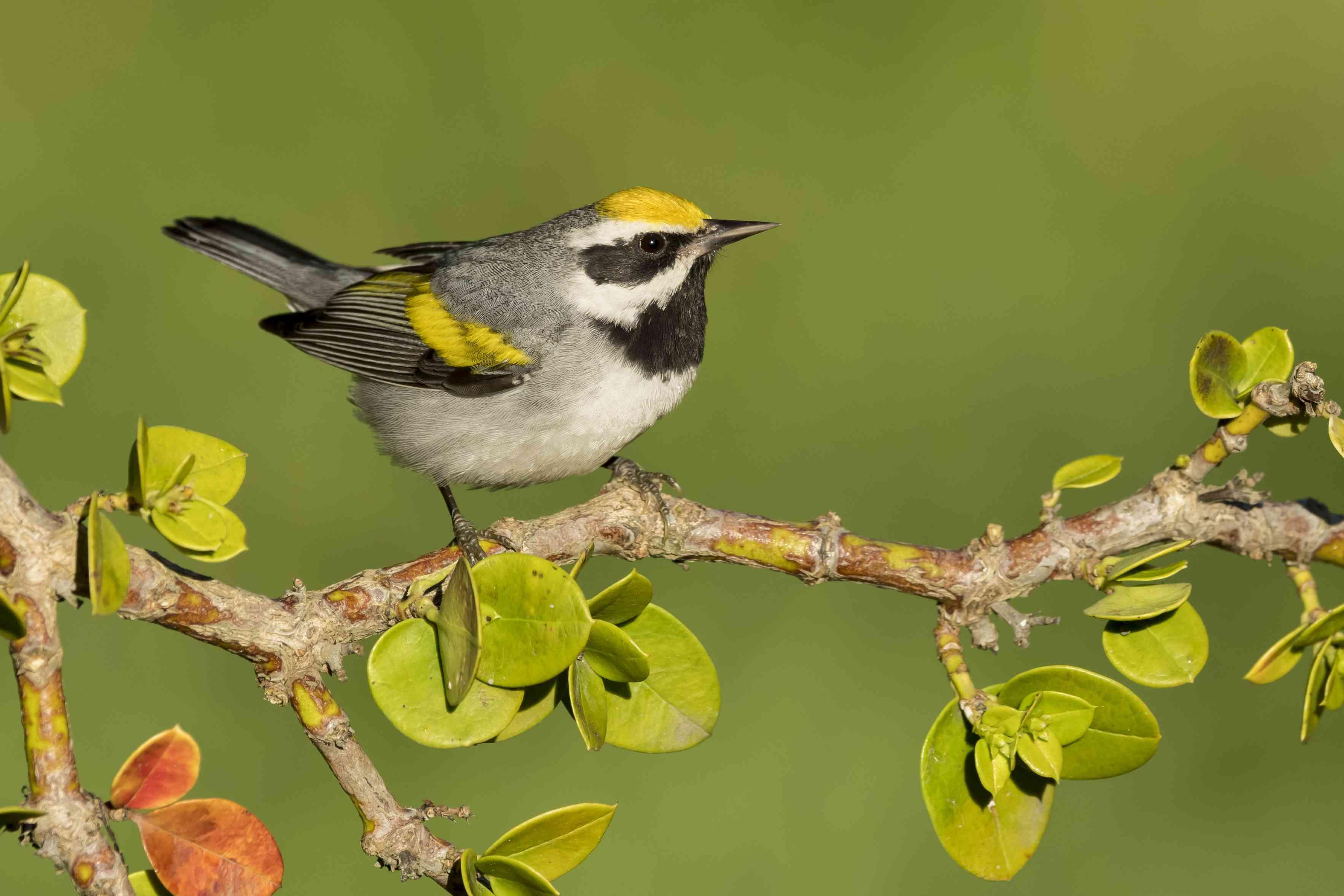 North American bird species: Golden-winged Warbler, Vermivora chrysoptera