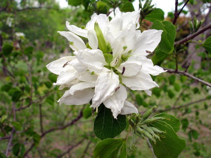 Many petalled white bloom of Anacacho orchid tree with bi-lobed green leaves.