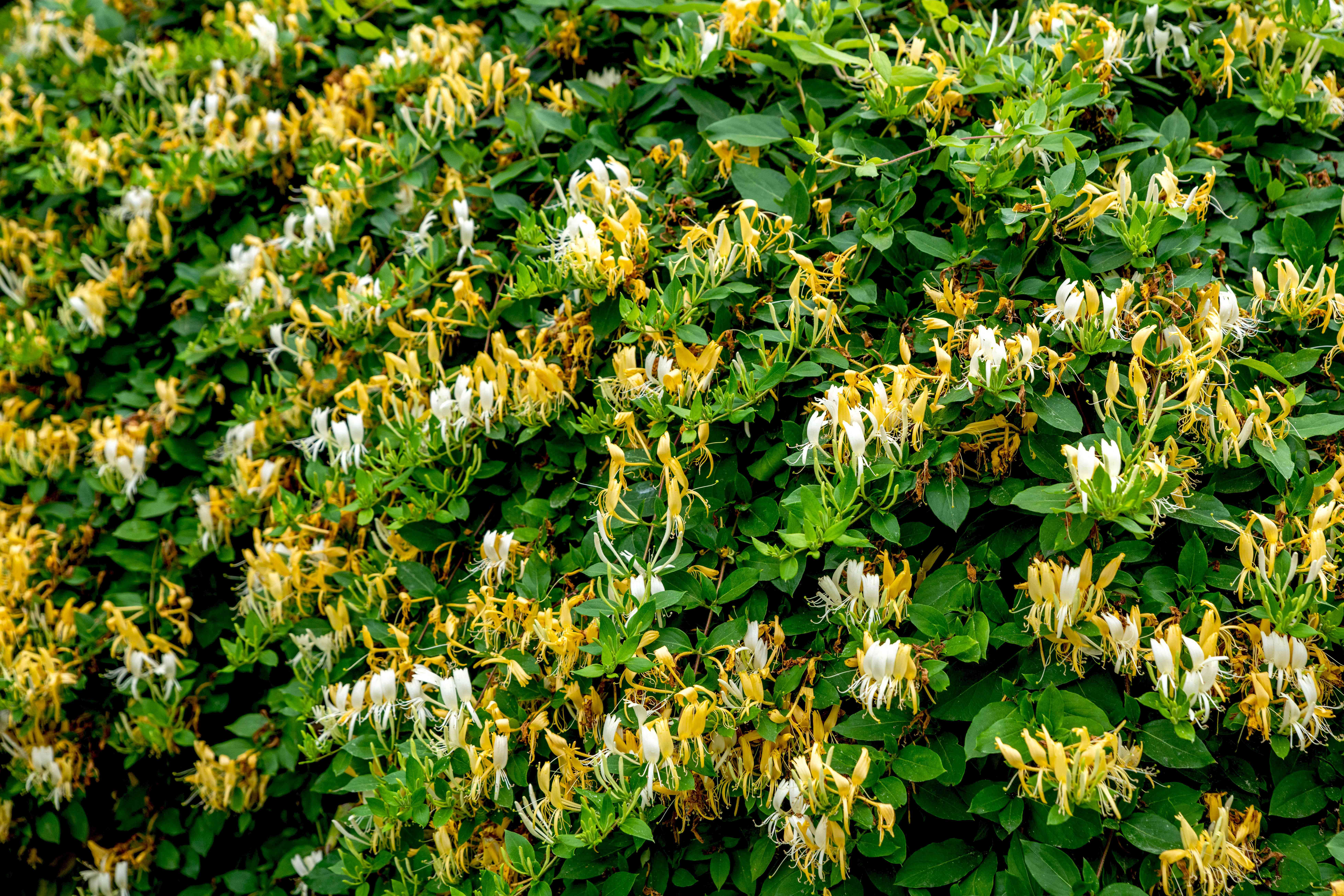 Honeysuckle vines with yellow and white trumpet-shaped flowers between leaves