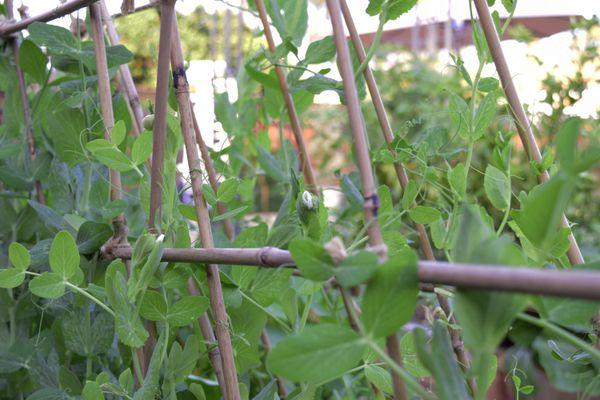 pea plants on a trellis