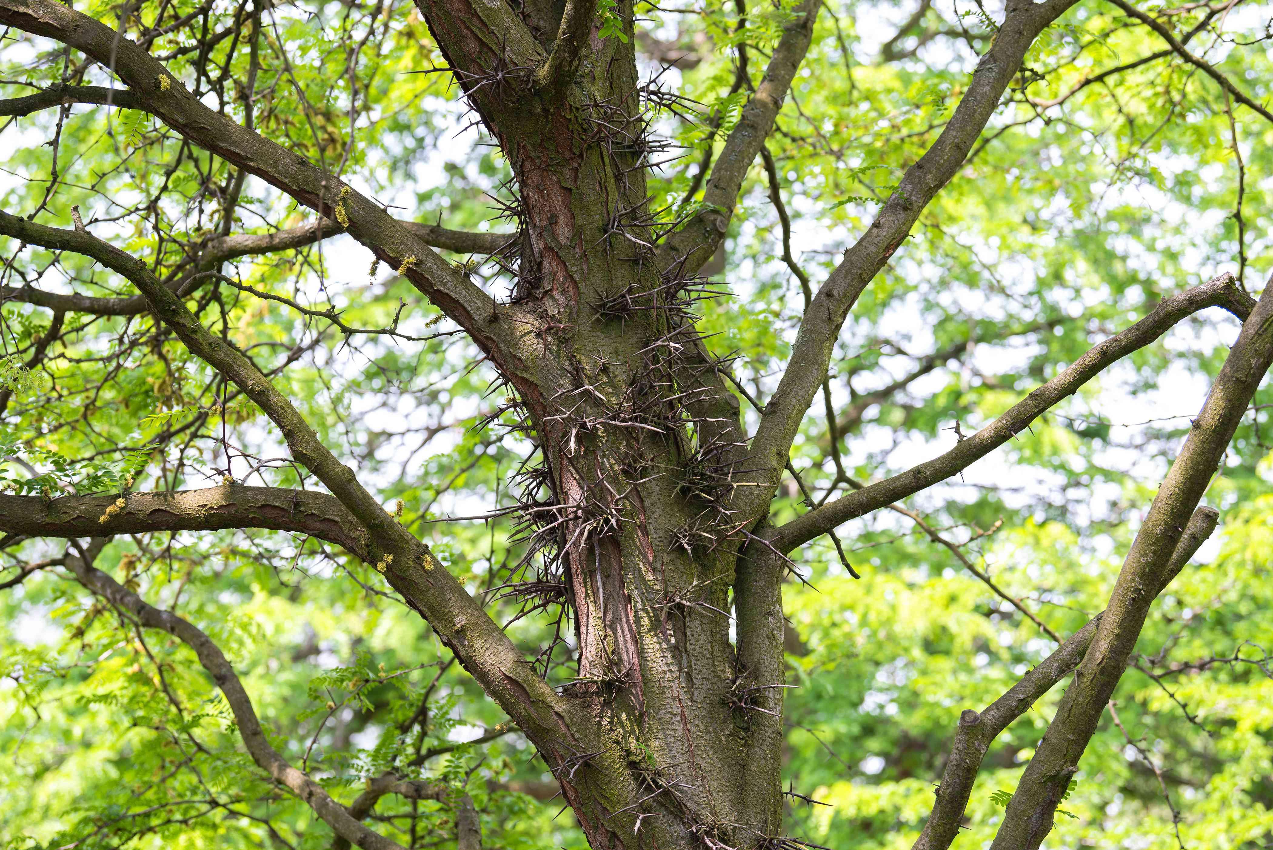 Sunburst honey locust tree trunk with large thorns