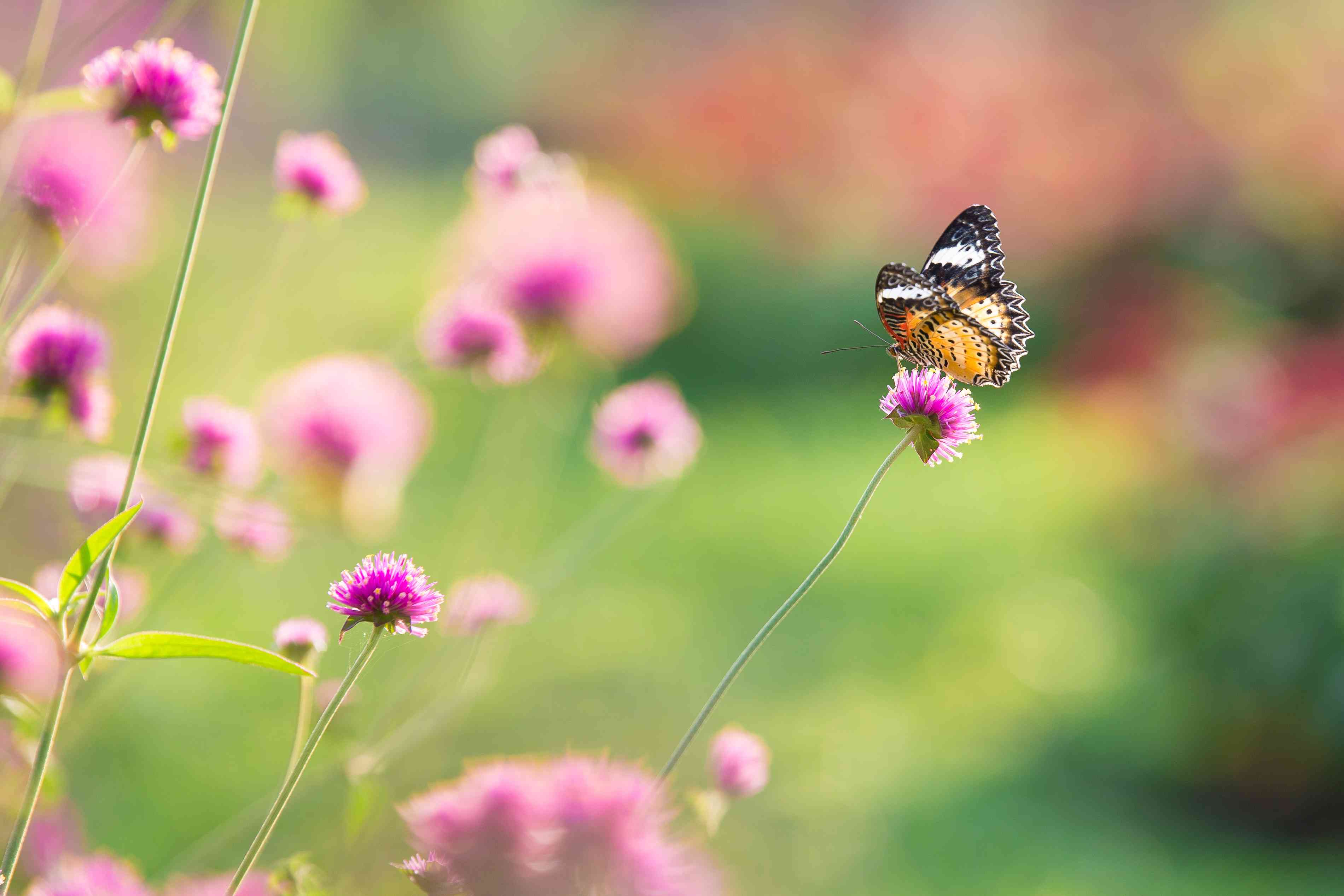 close up Beautiful Butterfly on amaranth Flower Field With sunlight on the garden background