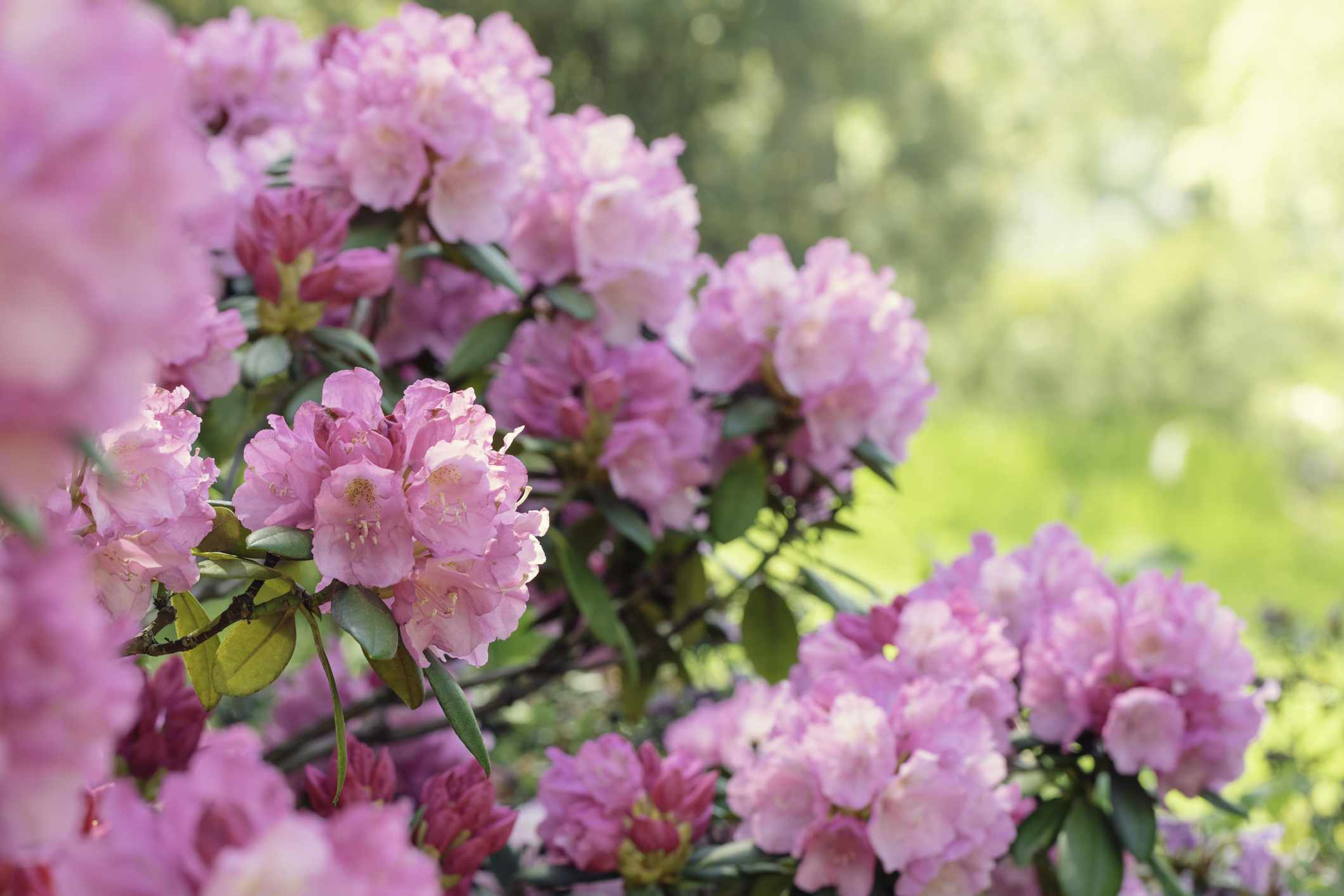 Rhododendron bush blooming in spring
