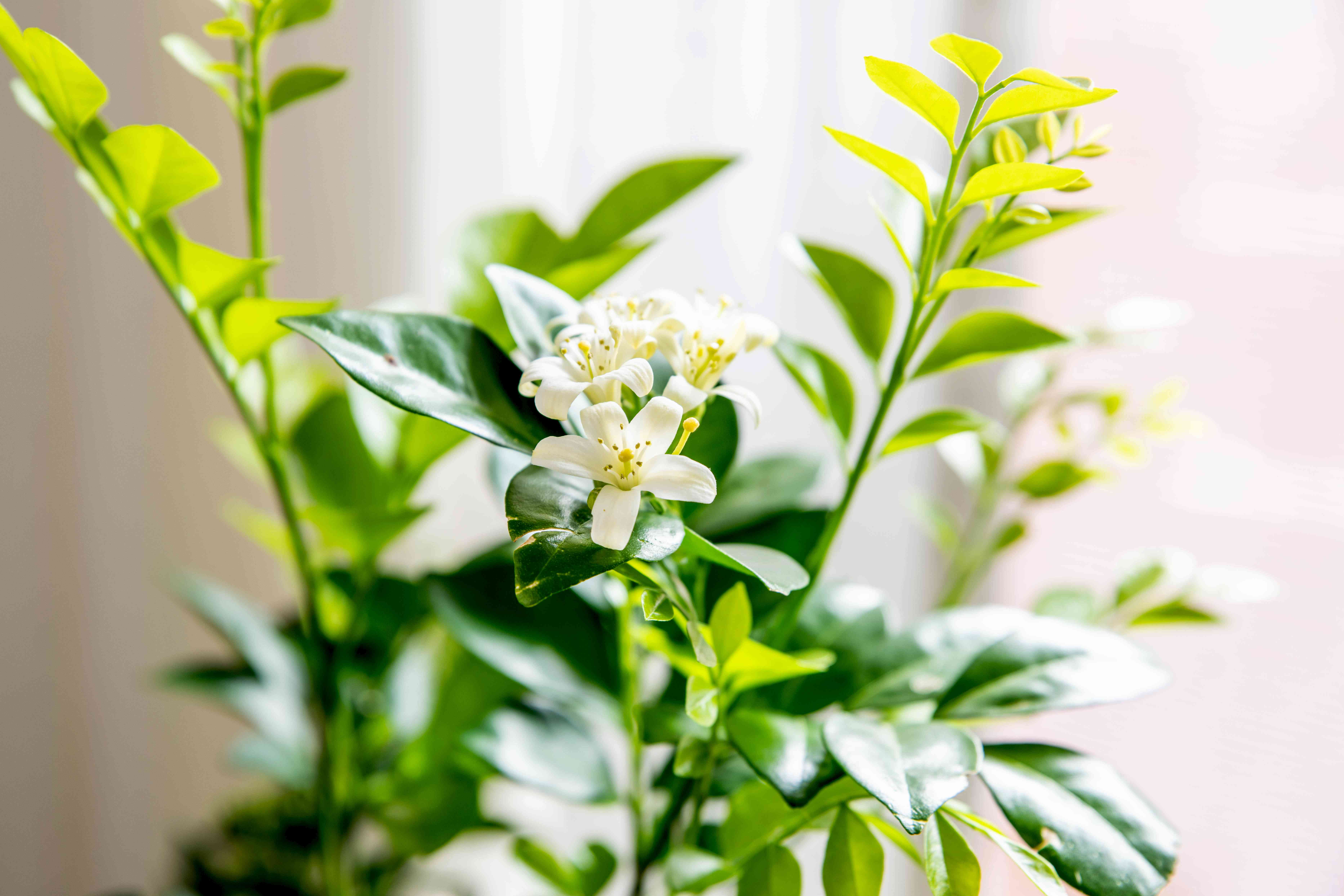 Orange jasmine plant with with small white flowers on branches with bright green and waxy leaves