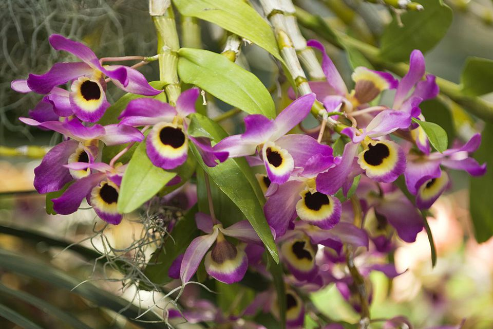 Abundance of similar Dendrobium nobile blooms