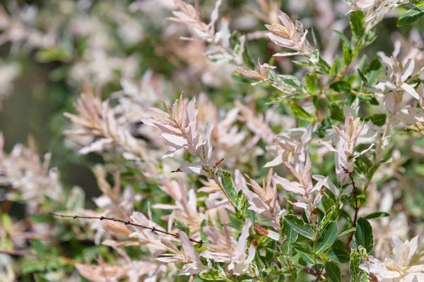 Flamingo weed shrub branches with white and and green variegated leaves in sunlight
