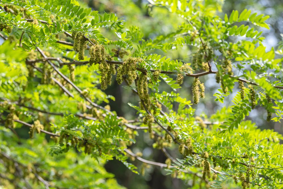 Sunburst honey locust tree branches with bright green fern-like leaves and yellow-green panicles hanging