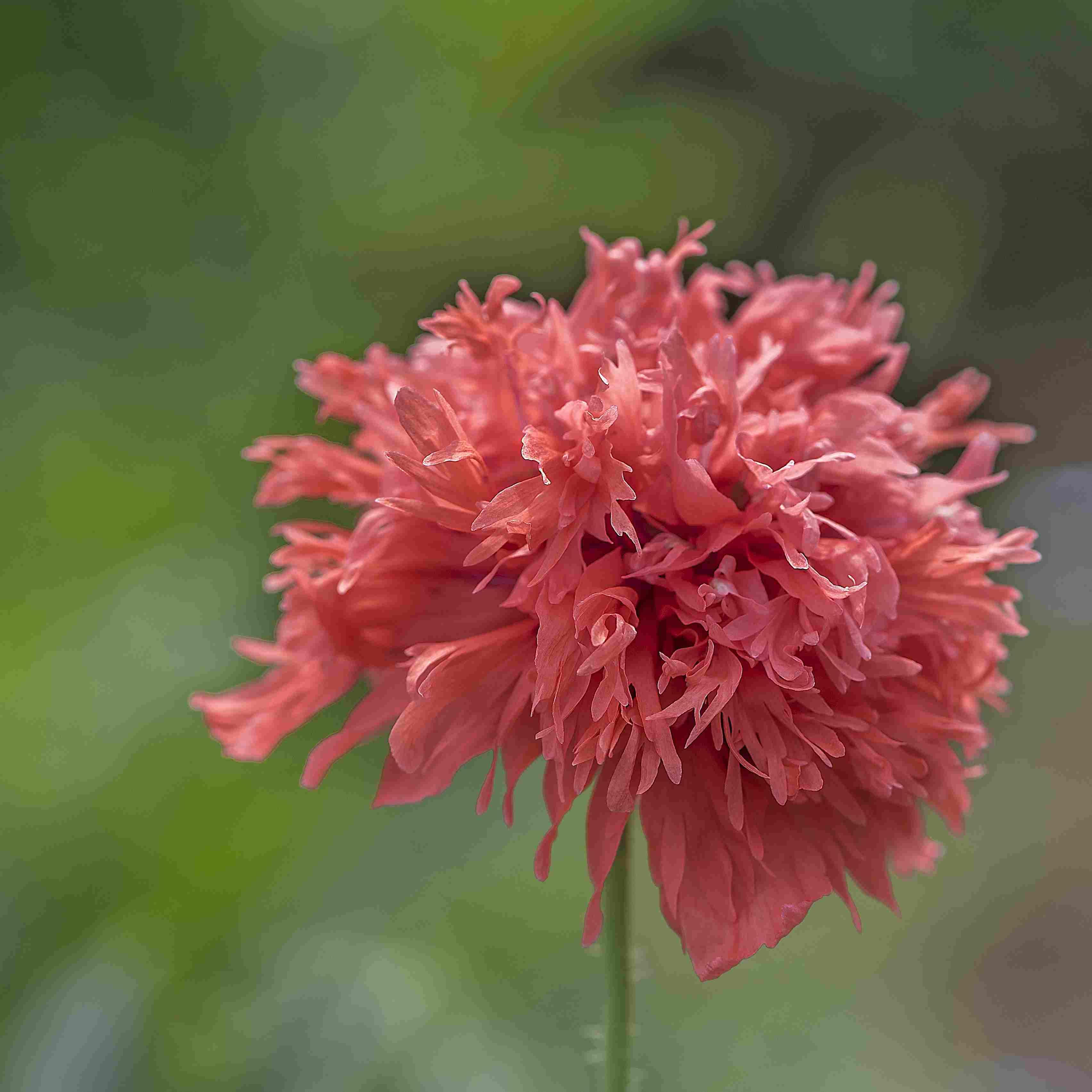Carnation Poppy
