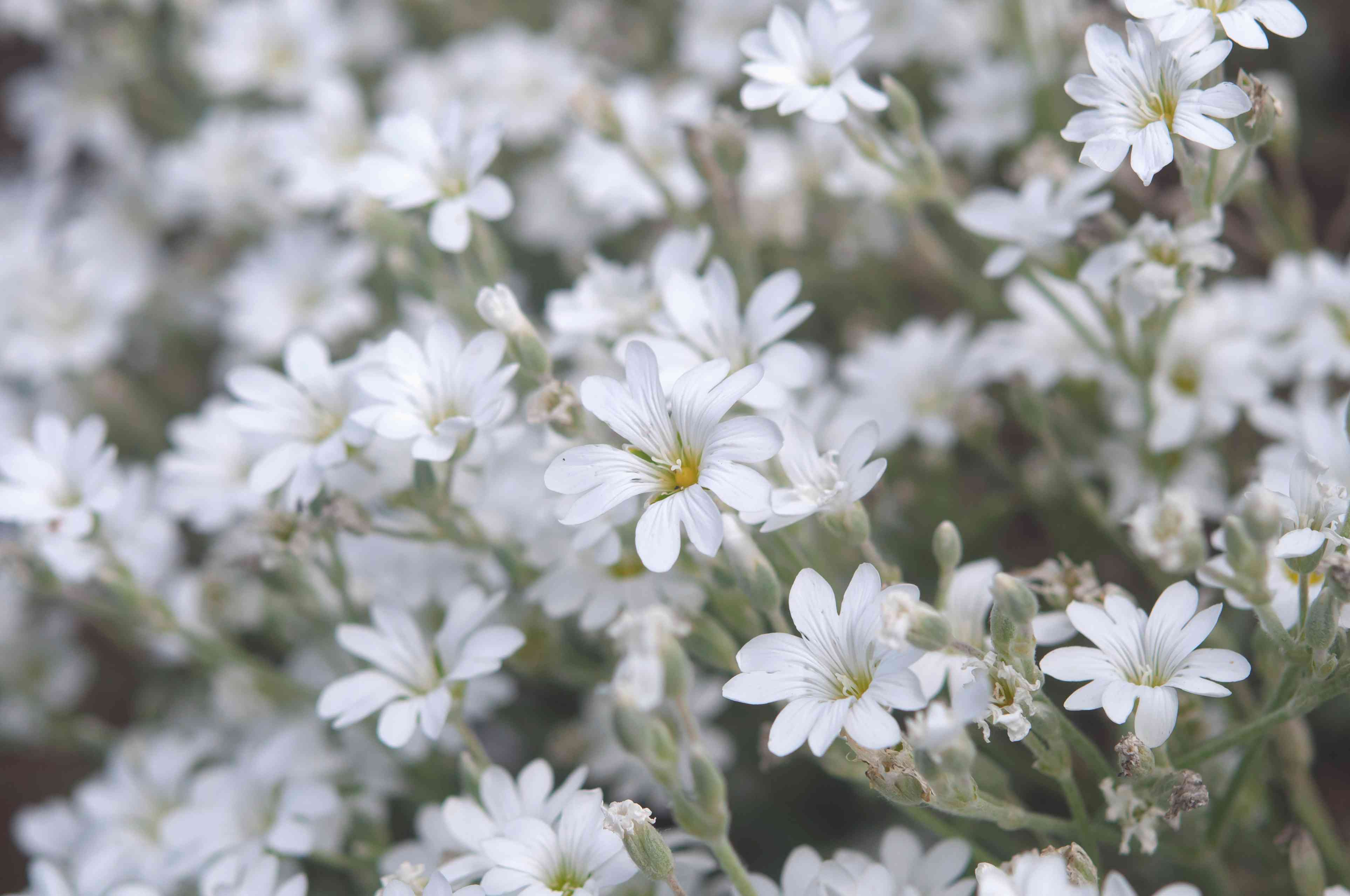Snow in summer plant with small white flowers closeup