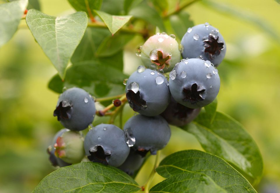 Ripe blueberries on bush ready to pick