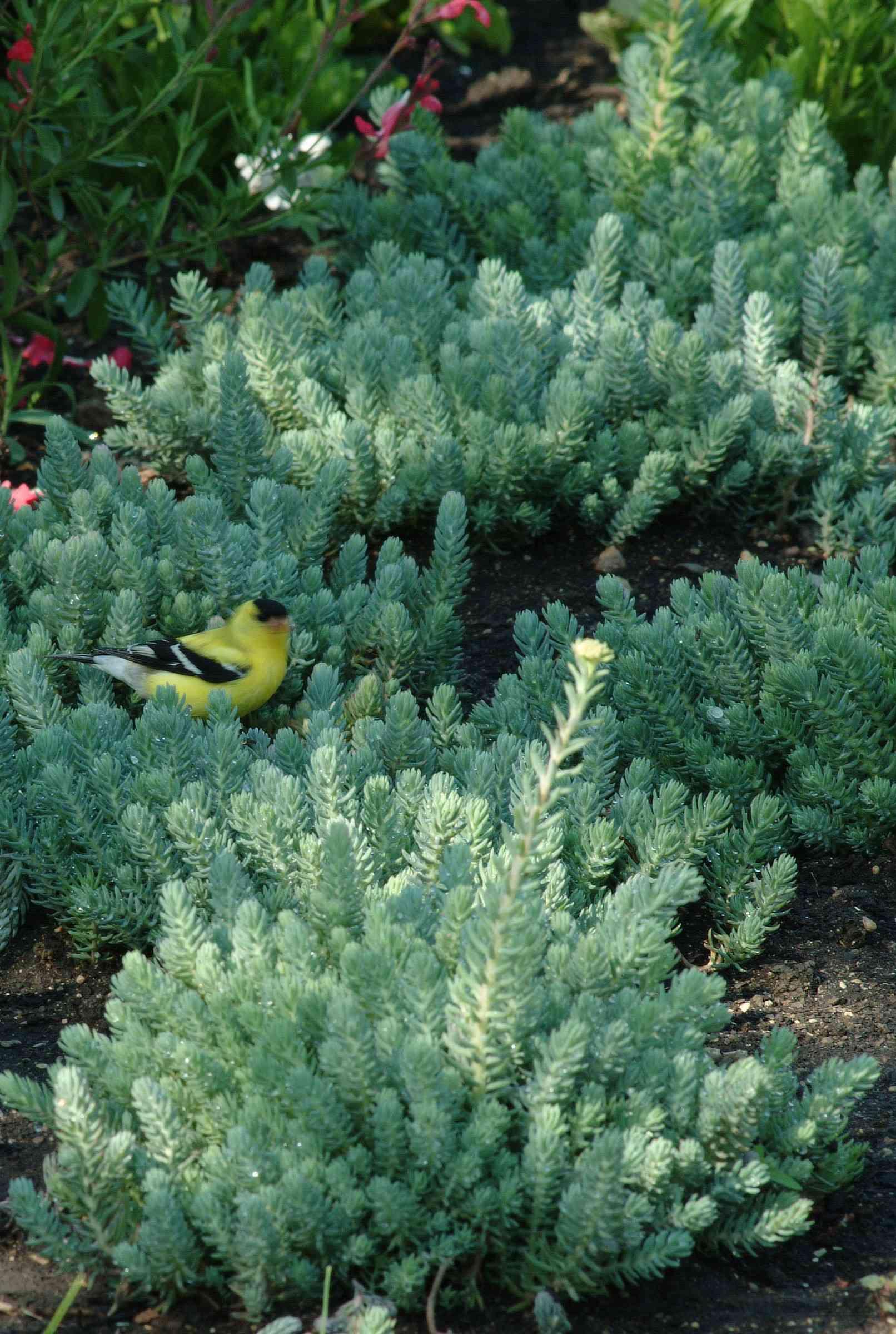 Blue spruce sedum with a yellow bird in its green foliage
