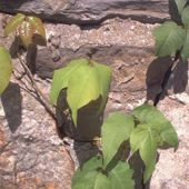 Photo of poison ivy.