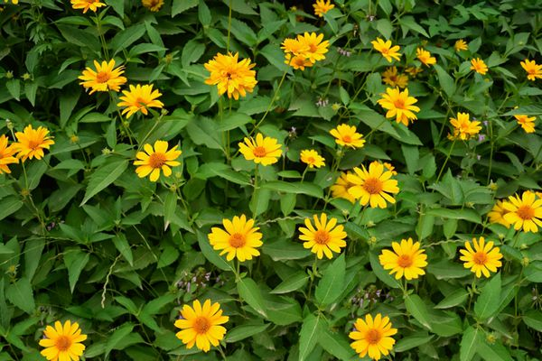 Yellow flowers in middle of arrow-like leaves planted from seed