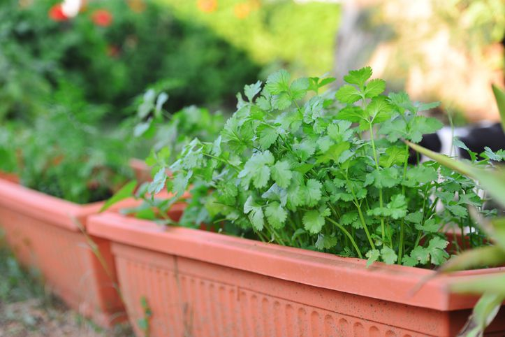 Cilantro growing in outdoor pot