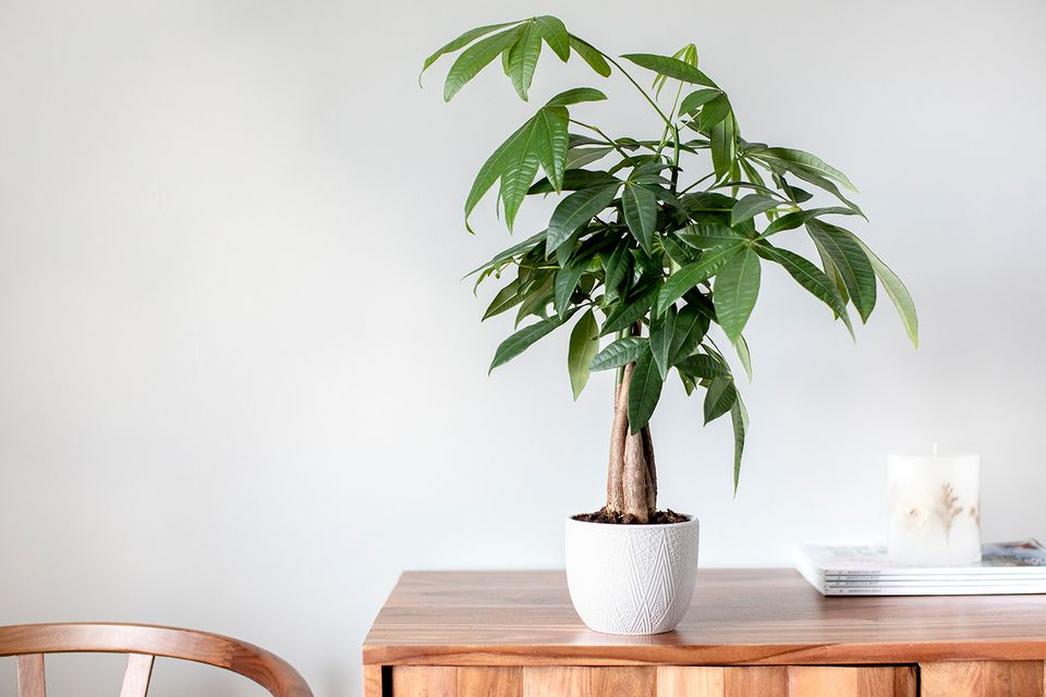 A Guiana Chestnut on a table