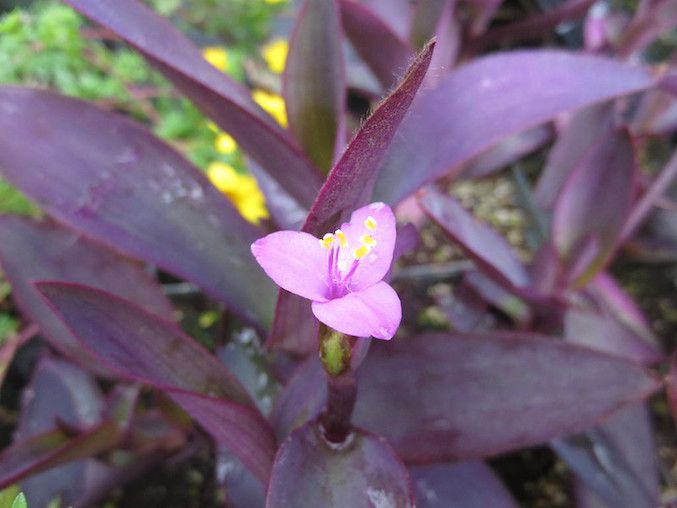 Purple leaved oyster plant with pink tri-lobed flower