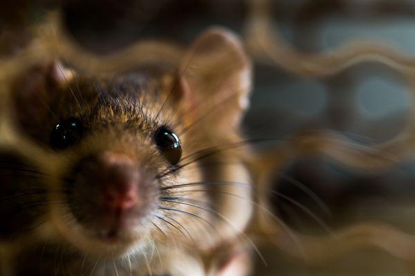 Curious mouse