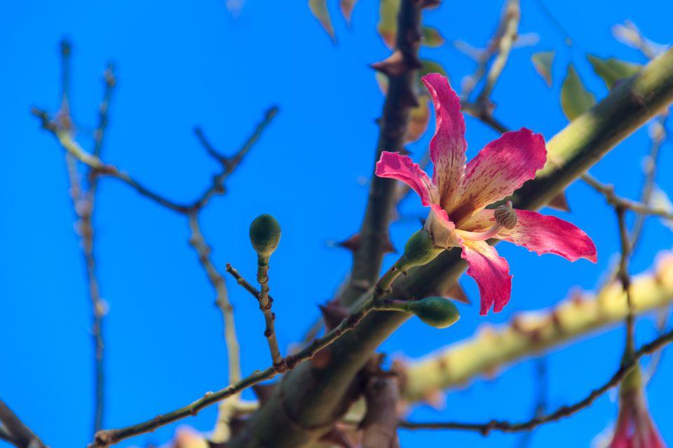 Pink flower of the Silk floss tree