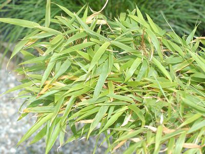 What Are the Best Growing Conditions for Bamboo?