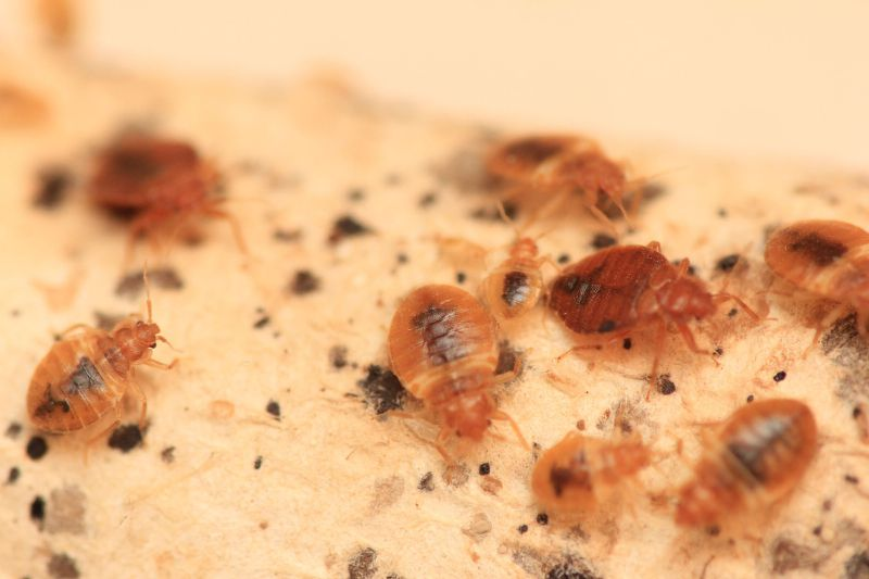 bedbugs, eggs, and feces
