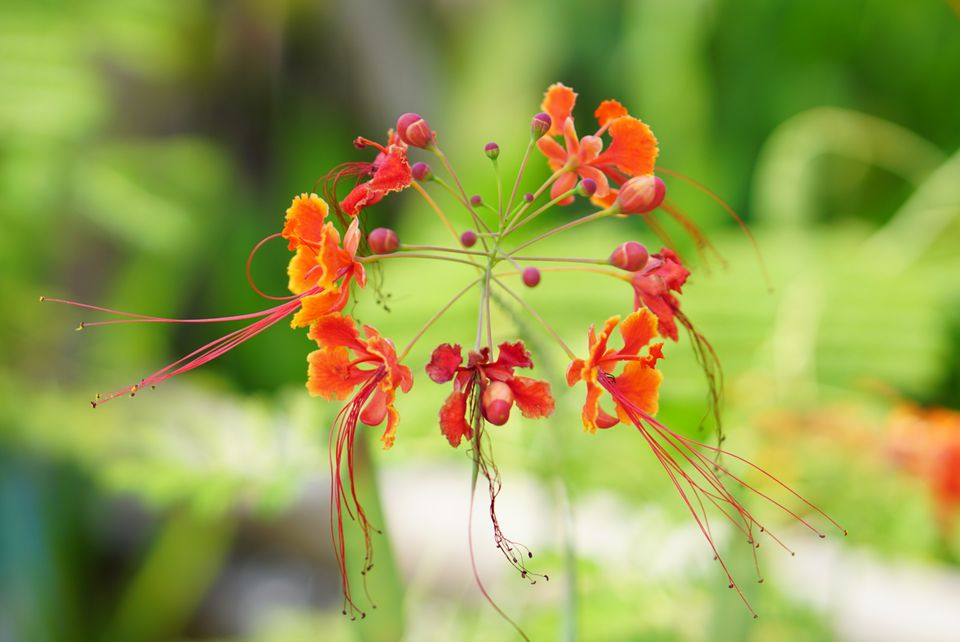 Red bird of paradise with orange and red flowers closeup