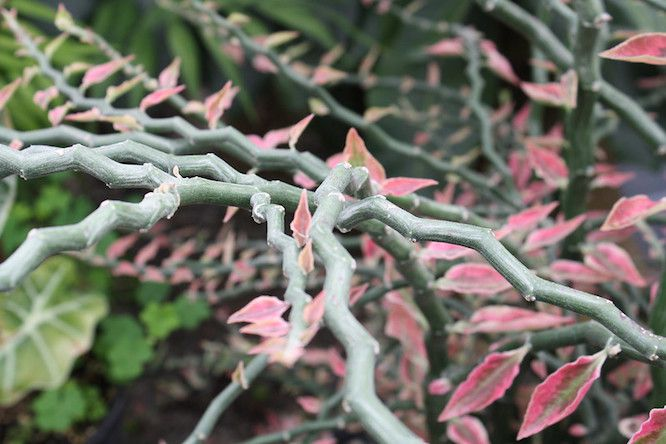 angular stems and pink leaves of Devil's Backbone plant