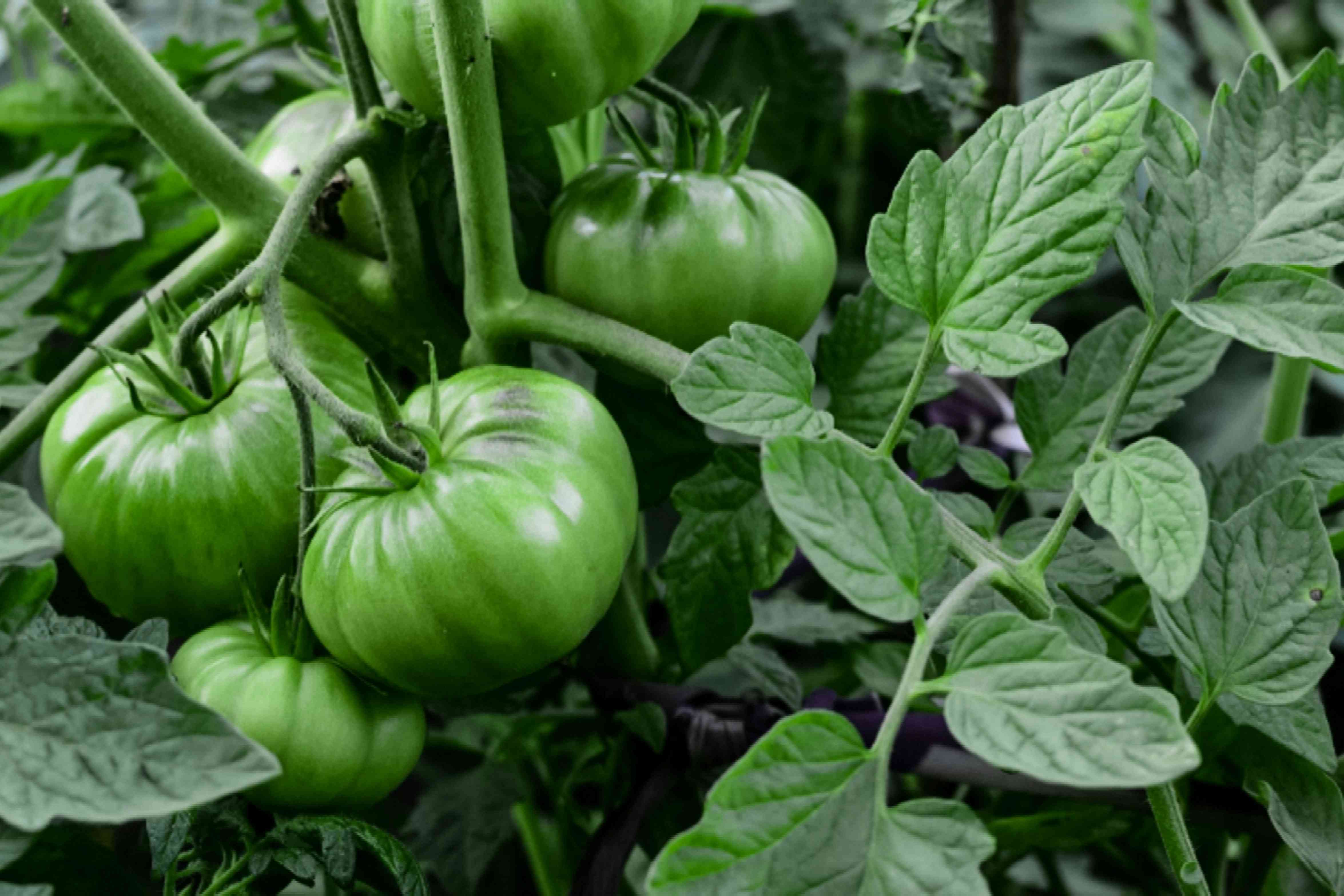 Bush beefsteak tomato plant with green tomatoes hanging on vines and leaves