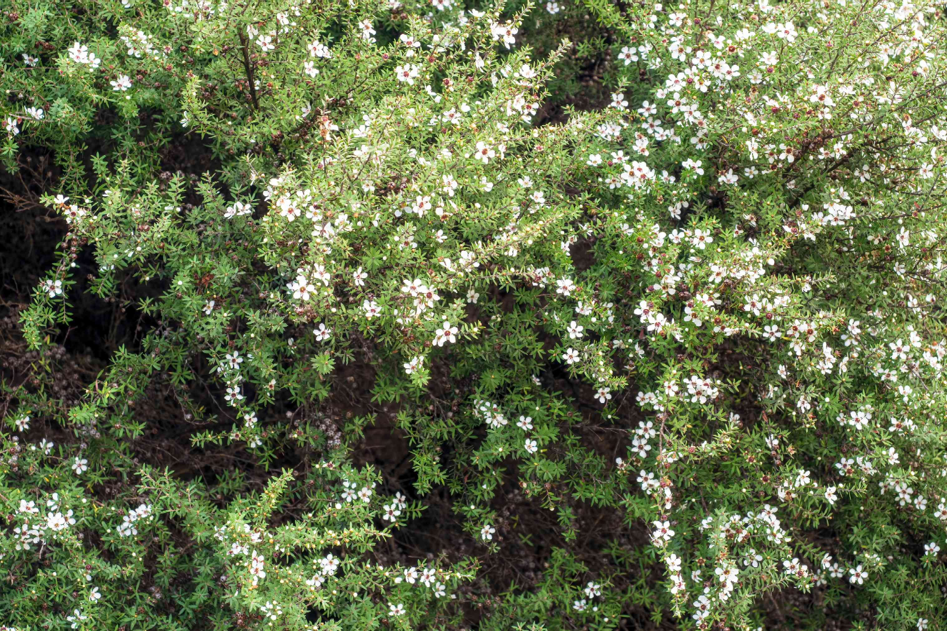 New Zealand tea tree branches with small needle-like leaves and small white blossoms