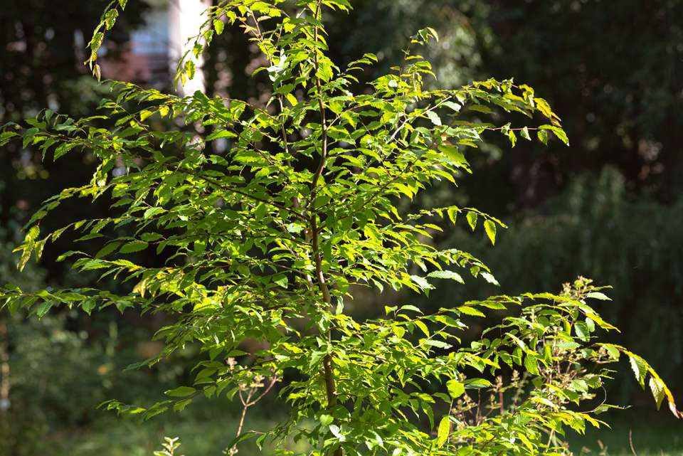 American hornbeam tree with fluted trunk and branches with bright green leaves