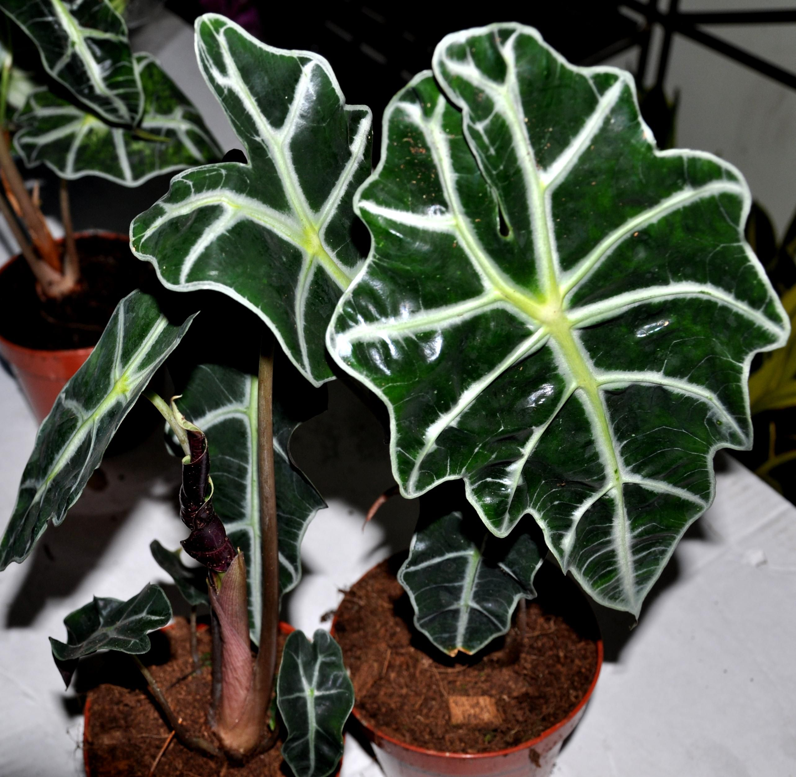 Tree Inside The House Interior Climate Controlled: How To Grow And Care For The Amazon Elephant's Ear